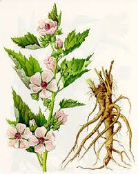 althea-root