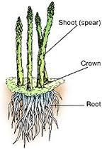 asparagus-root