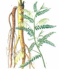 astraguls root.jpg