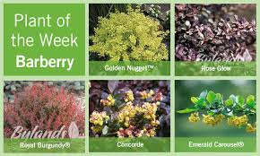 barberry-root
