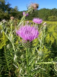 blessed-thistle
